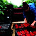 脫歐搖擺不定 英農場、果園缺工 千噸蔬果放爛