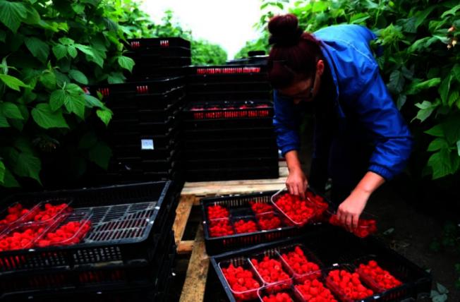 英國脫歐使海外勞工卻步,英國農場和果園出現大缺工現象。(路透)