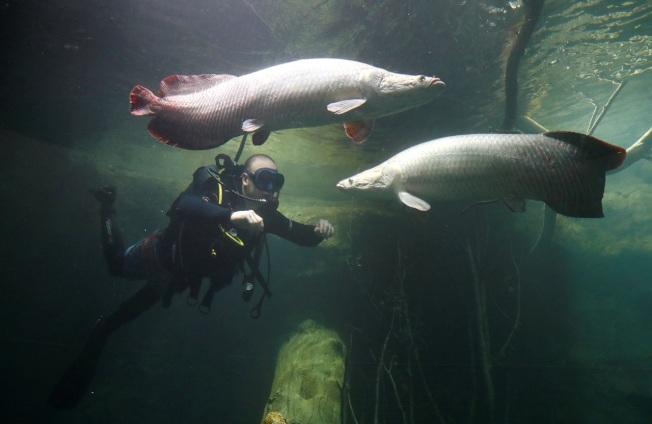 潛水員在瑞士洛桑的歐洲最大淡水水族館「Aquatis」熱帶區檢查巨骨舌魚的狀況。美國研究團隊16日發表論文,指巨骨舌魚的魚鱗具備獨特結構,就像天然的防彈背心,幫助牠們在食人魚出沒的水域生存。這個新發現有助啟發開發更強、更輕、更具彈性的合成防護甲,也能應用到航太領域的設計。路透