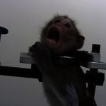 猴子遭鎖喉強迫站立 德國實驗室爆出「殘忍」實驗