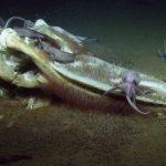 深海生物開趴!鯨屍沉海底 被吃到剩白骨