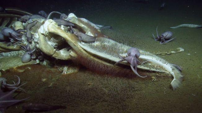 美國深海研究船「鸚鵡螺號」16日在加州外海海床拍到「鯨落」現象。周圍還有一群章魚、清道夫魚跟食骨蠕蟲在大快朵頤。OCEAN EXPLORATION TRUST AND NOAA ONMS