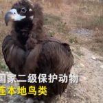 落腳10天超重10斤  禿鷲景區被餵得胖到飛不起來