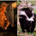 巴沙迪那捕獲帶狂犬病蝙蝠