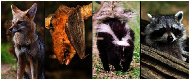 很多野生動物攜帶狂犬病毒。(聯邦衛生部網站)