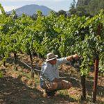 納巴釀酒人自救 培育「反暖化」葡萄