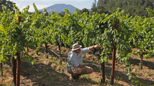 納巴谷的葡萄正在成熟,釀酒人泰塔斯(Eric Titus)小心查看他在納巴谷北聖海倫娜山種植的赤珠霞葡萄,顏色、質感和味道是否與前不同。(電視新聞截圖)