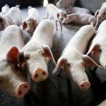 全球培根價格起飛 都要怪豬瘟肆虐的這國