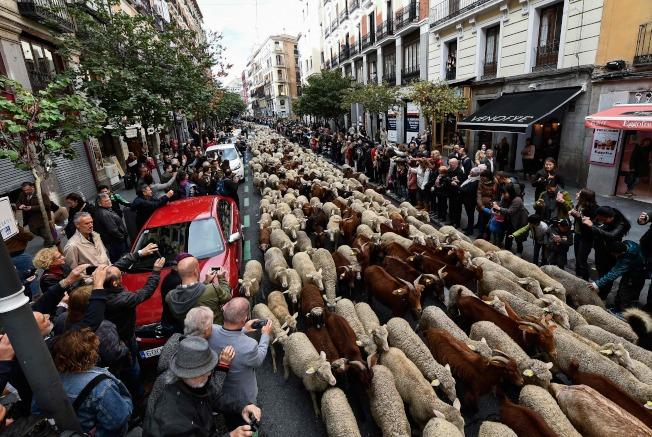 成群的綿羊走在街道上,讓路過遊客紛紛搶拍。法新社