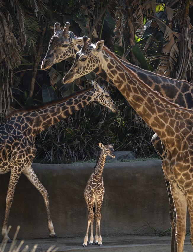 長頸鹿寶寶雖然身高6呎6吋左右,與成年長頸鹿相比仍是「小不點」。(美聯社/洛杉磯動物園提供)