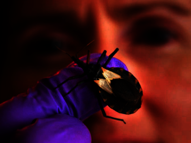 接吻蟲已在德州被發現,民眾應注意防範。(聯邦疾病防治中心提供)