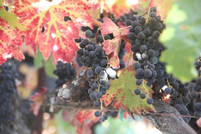 姜豐年酒莊的葡萄收成豐碩。(記者李晗 / 攝影)