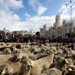 行人靠邊!馬德里「遷徙放牧日」 2000隻綿羊擠爆市區