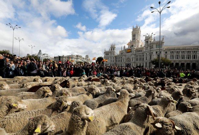 西班牙馬德里市一年一度的「遷徙放牧日」,羊群塞爆市中心。路透