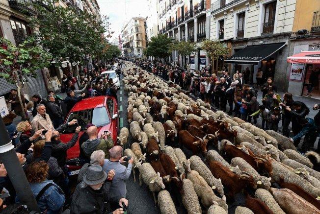 成群的綿羊走在街道上,讓路過遊客紛紛搶拍。圖╱GettyImages