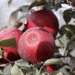 華盛頓州大研發 新品種「宇宙脆」蘋果12月上市