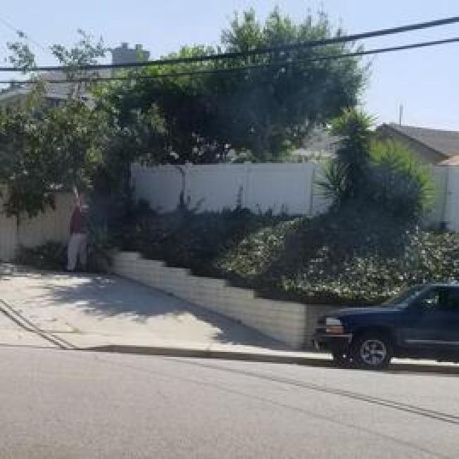 日前在蒙市附近社區,就有華人居民拍到有人開著車,到鄰居家前院採摘成熟果實。(讀者提供)