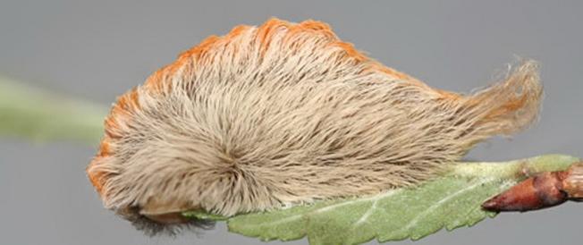 毛毛蟲看起來很可愛,但專家警告佛州人提防有毒生物。(UF昆蟲系網頁)