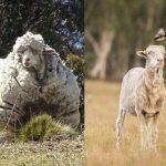 羊毛重41公斤 世界紀錄保持羊過世