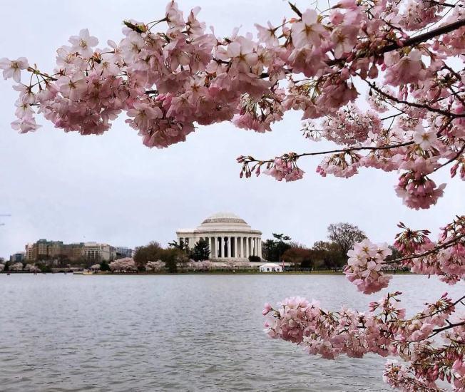 孤獨星球「2020年全球最佳旅遊城市」,華府位居全球第二。圖為華府櫻花季風景。(記者張筠 / 攝影)