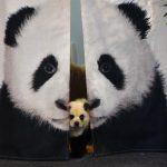 黑白毛色、憨臉萌樣…「熊貓狗」成新寵
