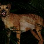 滅絕83年 澳洲袋狼重出江湖?