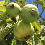 華人農家樂 滿院水果分贈親友