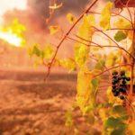 葡萄園被焚 多家釀酒廠受威脅