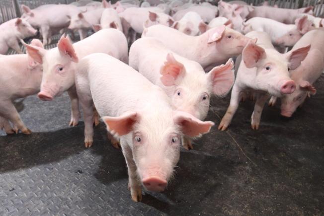 豬價上揚,正全方位衝擊著中國。(本報資料照片)