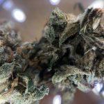 明年公投後 巴市將迎來更多大麻店