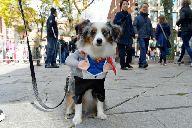 在波士頓一場萬聖節寵物遊行,一隻叫Maui的牧羊犬扮成超人。(Getty Images)