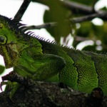 佛州鬣蜥被獵殺 賣做墨西哥捲餅