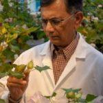 基改後無毒 新棉花種籽可食用 FDA核准
