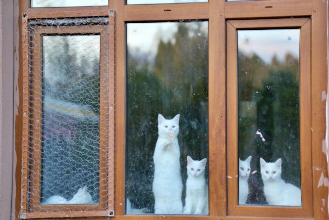 梵貓研究中心將公貓及母貓分開飼養。記者魏妤庭/攝影