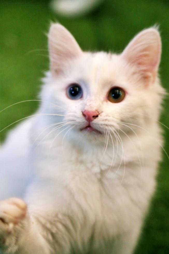 梵貓的外型特色相當明顯,全身毛色雪白,有著異色瞳孔基因。