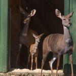 國家動物園 喜迎小羚羊