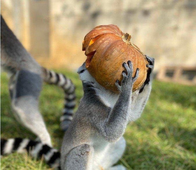 台灣六福村野生動物園照養員製作惡魔南瓜與動物同樂。圖/六福村提供