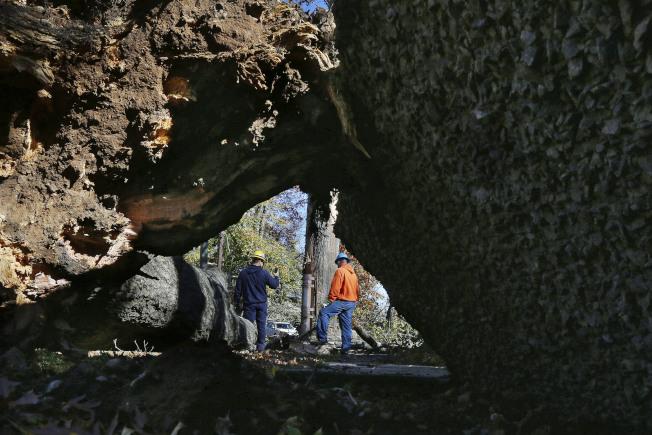周五,新澤西州麥迪遜(Madison),一棵路邊樹被強風刮倒。(美聯社)