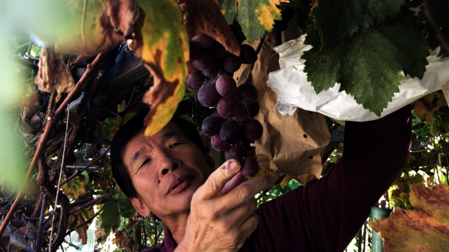 園藝達人許希聖栽培的巨峰葡萄。(記者啟鉻/攝影)