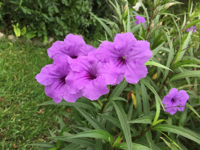 橘郡實施限制澆水,庭院花木每周僅一日可澆水一次可澆水。(記者陳文迪/攝影)