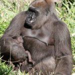 動物園母猩猩驟逝 園方心碎