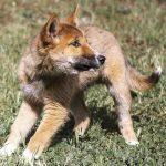 老鷹空投?澳洲鄉間天降幼犬 一驗竟是稀有種