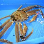 日本松葉蟹一隻4.6萬元拍出 創世界紀錄