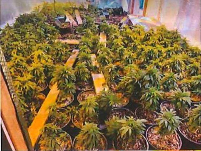 艾爾蒙地警方6月10日在追捕小偷時發現一幢大麻屋,起出604株大麻。(艾爾蒙地市警局提供)