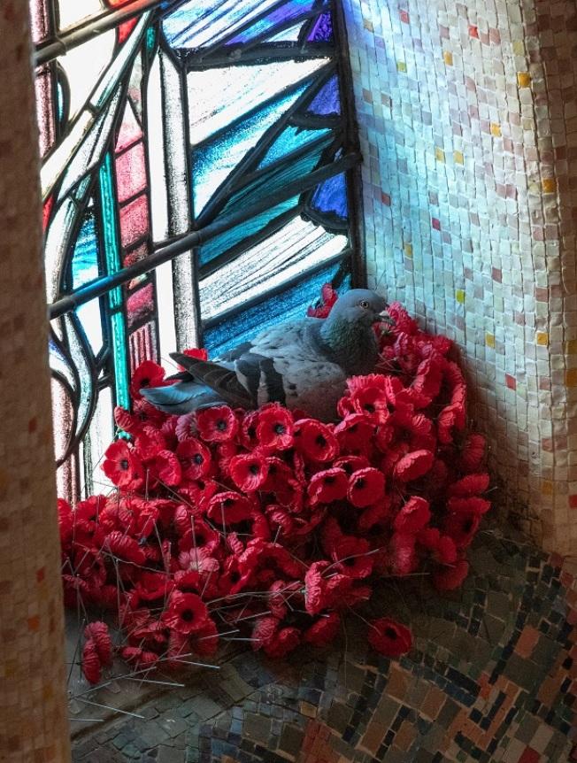 澳洲戰爭紀念館10月底發現,有隻鴿子每天都會飛下來,叼走無名澳洲士兵之墓紀念牆前的罌粟花,在莊嚴肅穆的紀念堂一角、象徵軍人「堅忍」特質的戰傷澳軍士兵彩繪玻璃窗前築巢。路透