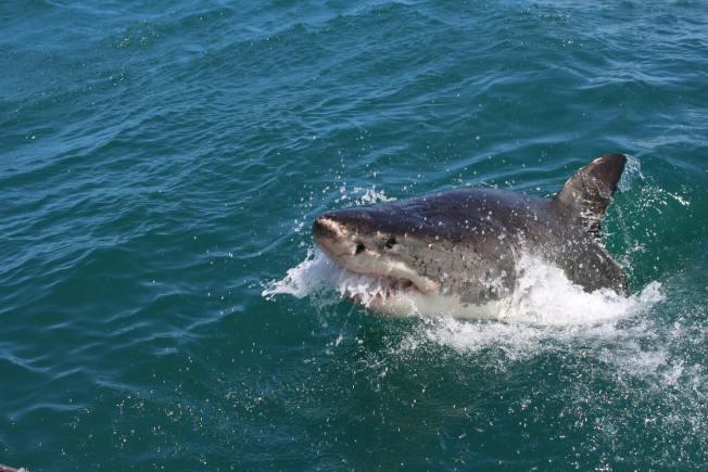 一名英籍遊客出海失蹤,人們在鯊魚體內發現了載著他的婚戒的斷掌。圖為示意圖。(Photo by Alex Steyn on Unsplash)