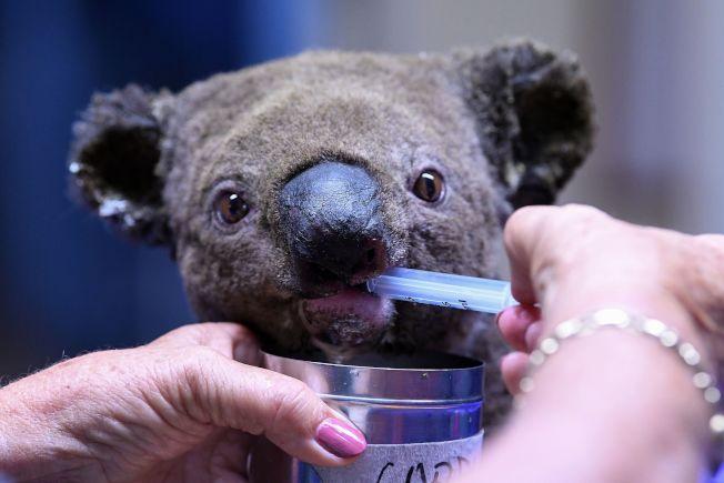 一隻在灌木林大火中脫水且受傷的無尾熊,2日被送往新南威爾斯省的麥格理港無尾熊醫院接受治療。Getty Images