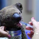 澳洲野火惡化 1天近百場 數百無尾熊死