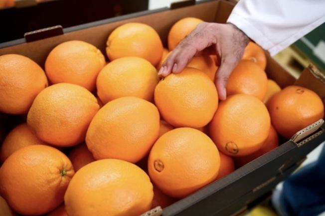 「柑橘飛蝨」傳染黃龍病菌,使佛州90億元柑桔產業面臨威脅。(本報檔案照)