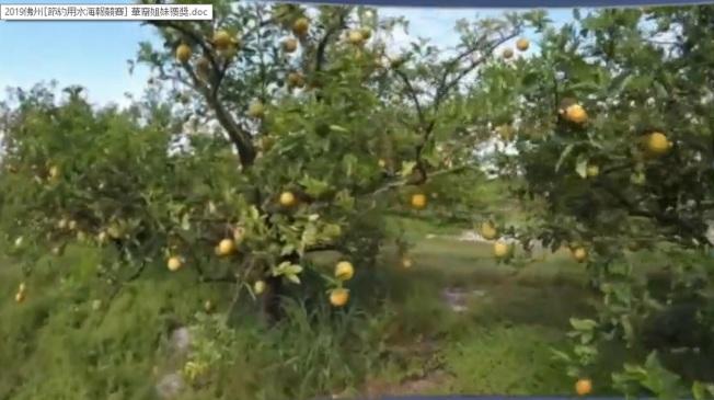 佛州感染致命病害「黃龍病」的柑橘樹。(截自視頻)